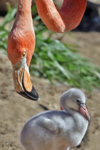 flamingo_and_offspring