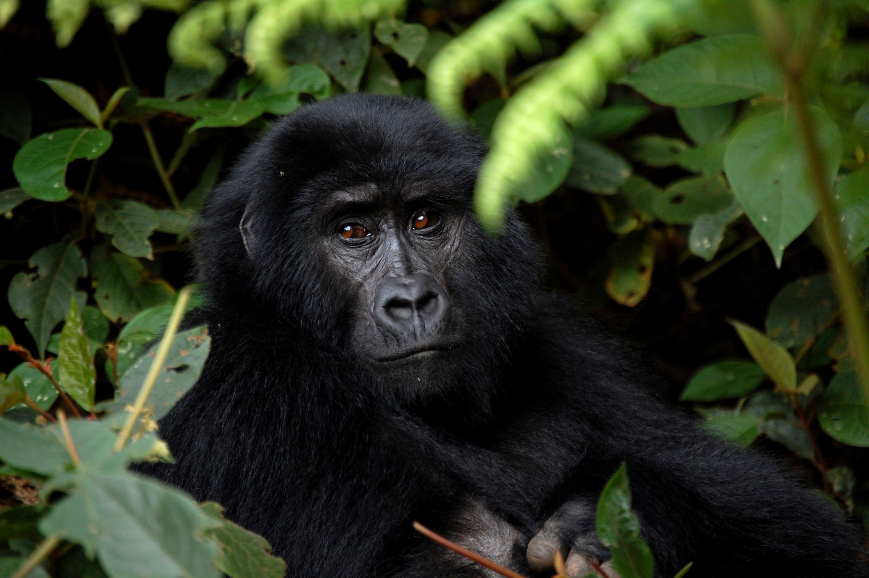 gorila-de-montana-p-n-bwindi-2