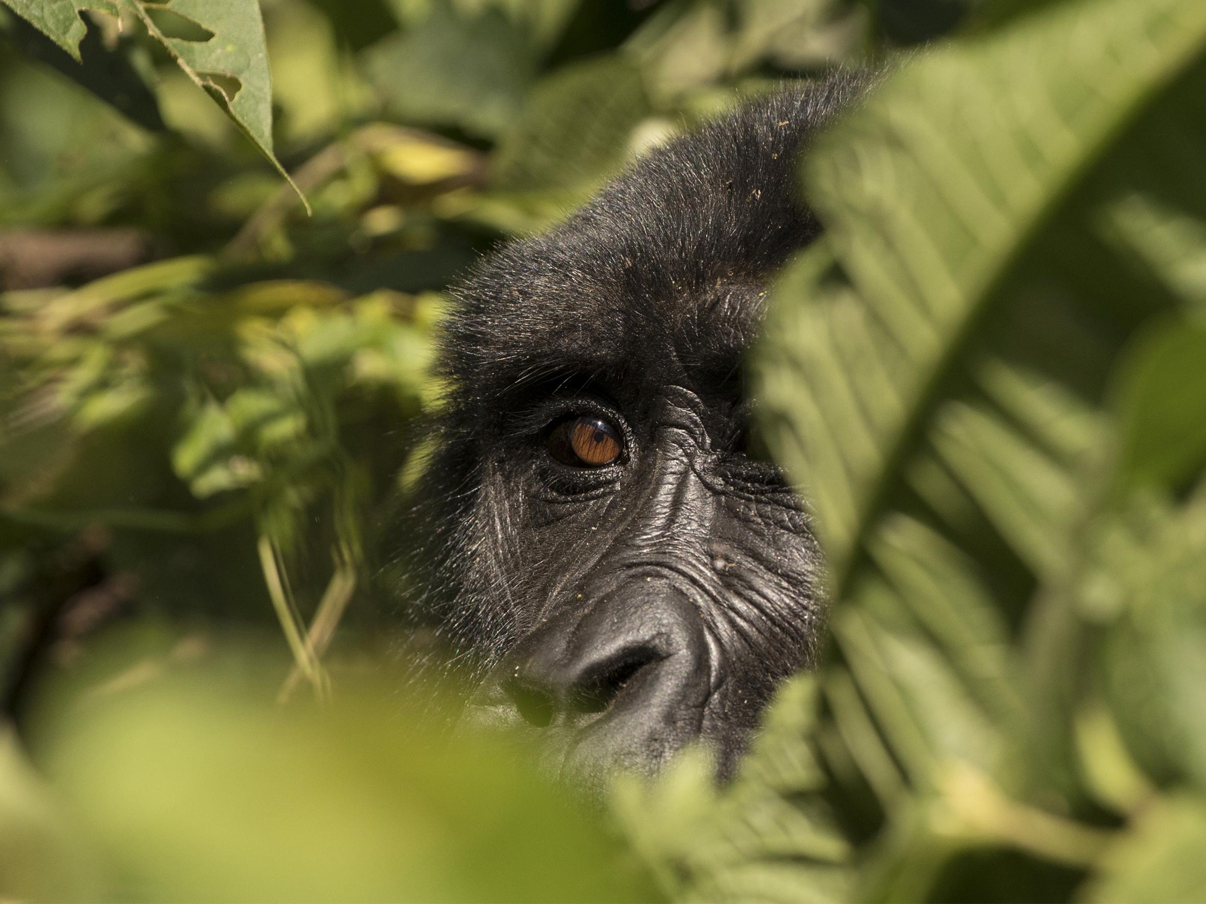 Gorila Trek Clásico